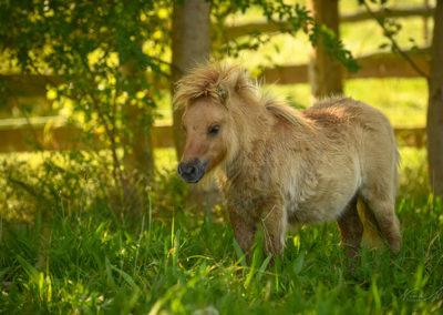 PreunerWirts Mini Shetland Ponys Hettenbachs Elsa